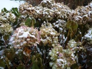 Hortensia blad wordt bruin