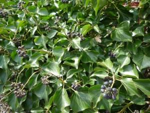 zwarte bessen Hedera helix arborescens