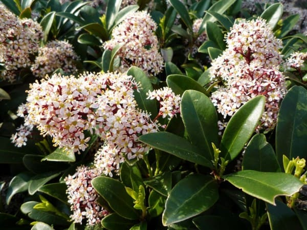 skimmia japonica 39 rubella 39 bloei snoei standplaats. Black Bedroom Furniture Sets. Home Design Ideas