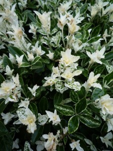 Euonymus japonica pierrolino sense