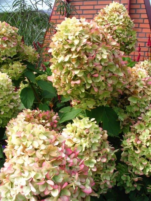 Hydrangea paniculata u2018Limelightu2019 - Pluimhortensia