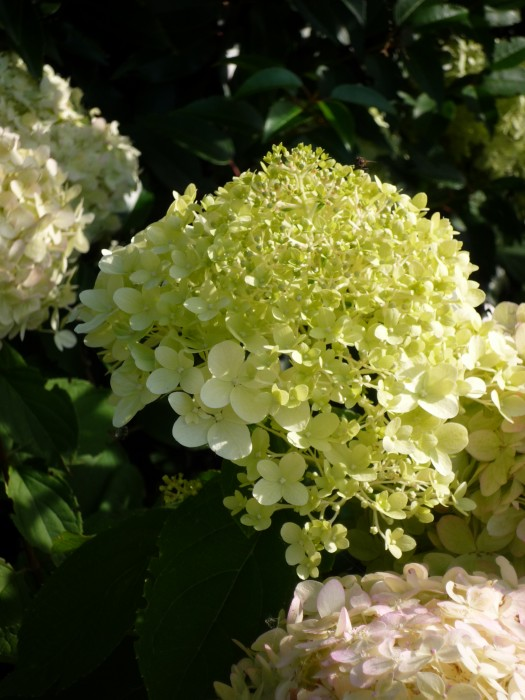 hydrangea paniculata limelight pluimhortensia. Black Bedroom Furniture Sets. Home Design Ideas