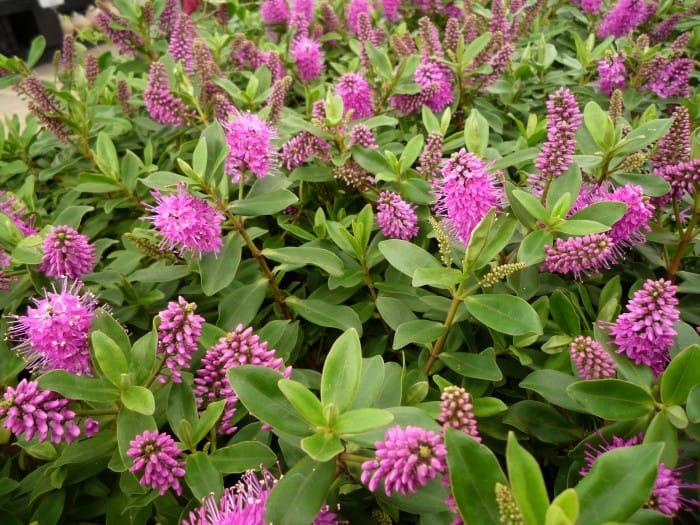 Hebe addenda struikveronica verzorging bloei standplaats for Hebe pianta