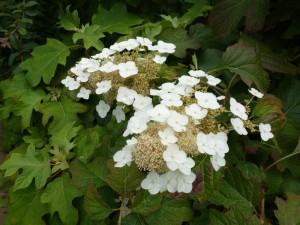 eikenbladhortensia in bloei