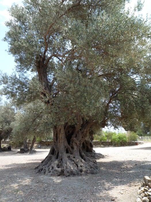 Grondsoort olijfboom