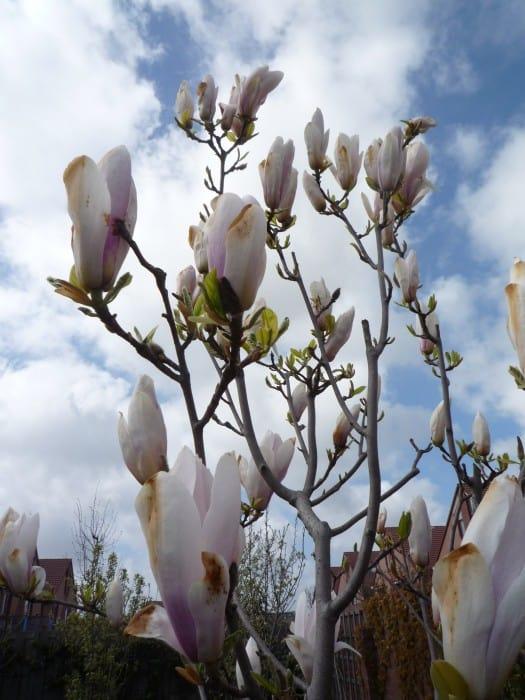 De grond moet humusrijk en zuur zijn en normaal tot vochtig. Magnolia ...