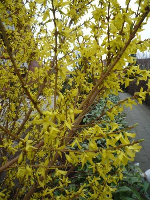 Struiken Met Bloemen Voor In De Tuin.Forsythia Chinees Klokje Bloei Standplaats Snoeien