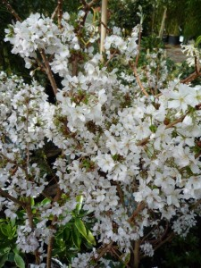 Prunus nipponica Brilliant