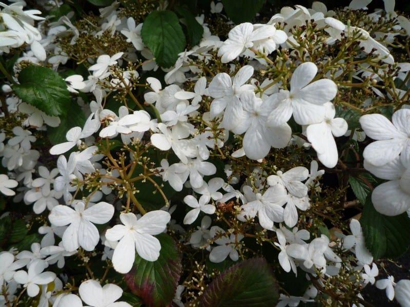 viburnum plicatum watanabe japanse sneeuwbal. Black Bedroom Furniture Sets. Home Design Ideas