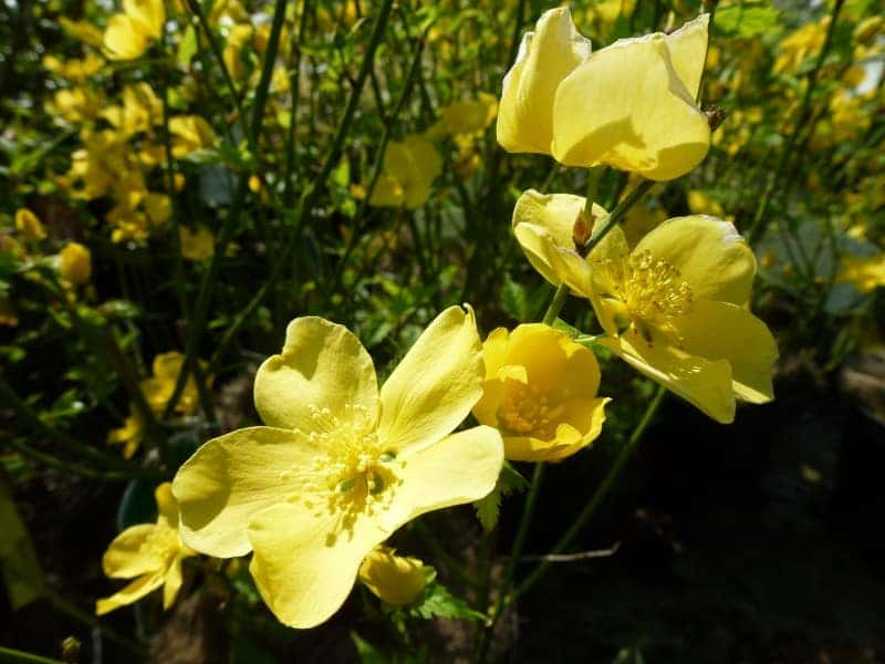 Kerria japonica ranonkelstruik for Kerria japonica