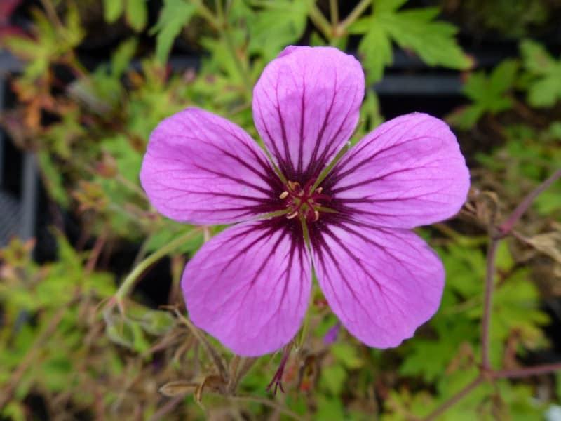 Roze bloeiende vaste planten verschillende soorten