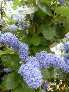 Ceanothus arboreus Trewitchen Blue