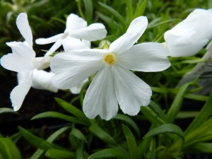 Phlox white delight