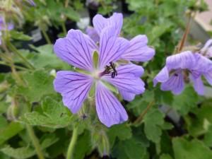 Geranium himalayense