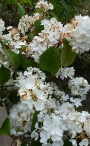 Viburnum plicatum Newport