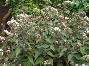 Eupatorium rugosum Chocolate