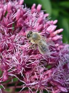 Bijen lokken