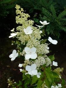 Hydrangea paniculata Kyusha
