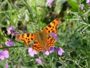 vlinders lokken naar de tuin
