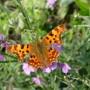 Vlinders lokken naar de tuin – Planten die vlinders lokken