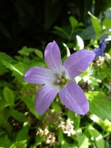 Campanula lactiflora Prichard Variety