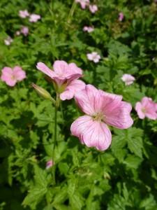 Geranium oxonianum Rose Clair