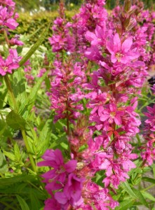 Lythrum salicaria Robert