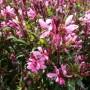 Gaura lindheimeri Geyser Pink – Prachtkaars
