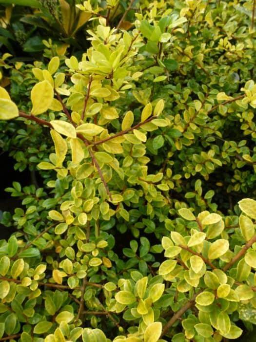 Ilex crenata Golden Gem - Japanse Hulst - Chinese Hulst