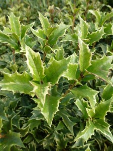 Osmanthus heterophyllus Variegatus