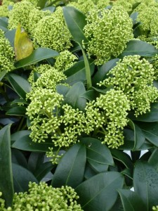 Skimmia japonica Fragrant Cloud