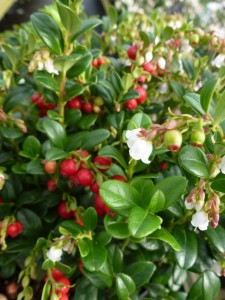 Vaccinium Red Candy