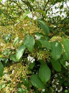 Viburnum plicatum Shoshone