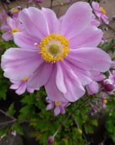 Anemone hyb. Serenade