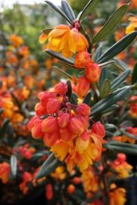 Berberis linearifolia Orange King
