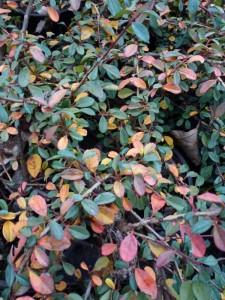 Cotoneaster praecox boer