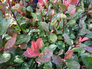 Photinia fraseri Little Red Robin