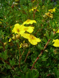Potentilla fruticosa Yellow Giant