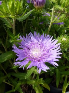 Stokesia laevis Mels Blue