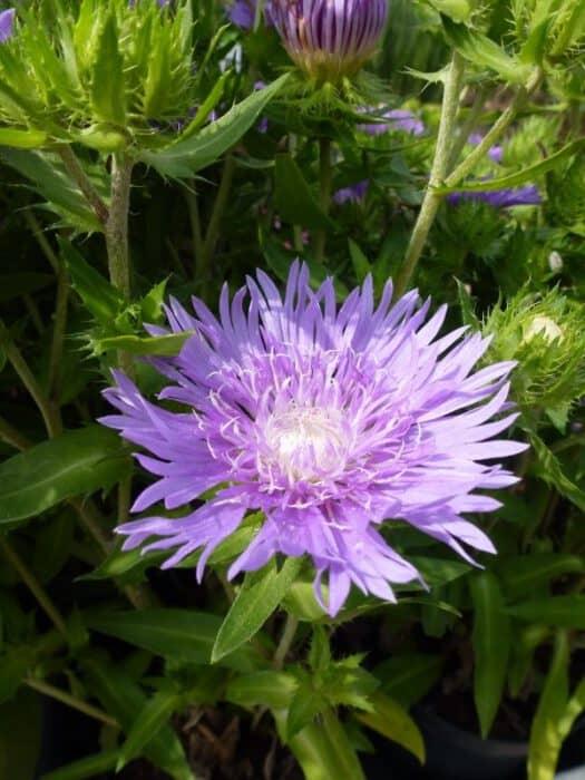 Geliefde Paars en blauw bloeiende vaste planten KS56