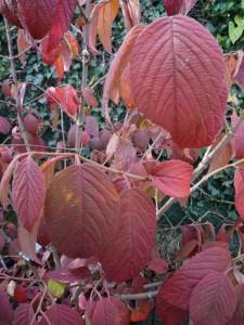 Viburnum plicatum Tomentosum