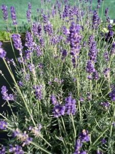 Lavendula angustifolia Hidcote