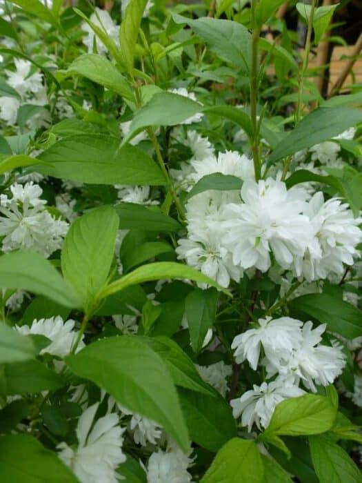 Witte Vaste Planten.Wit Bloeiende Plantenplantnu Nl Mobiele Versie