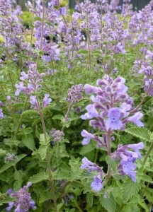 Nepeta faassenii Walkers Low