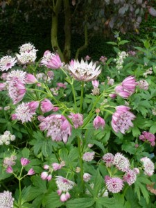 Roze bloeiende vaste planten