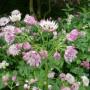 Roze bloeiende vaste planten; verschillende soorten