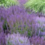 Paars en blauw bloeiende vaste planten
