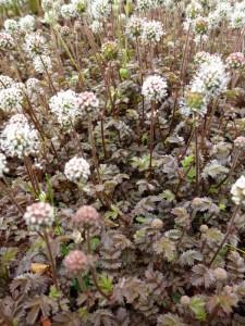 Acaena microphylla Kupferteppich