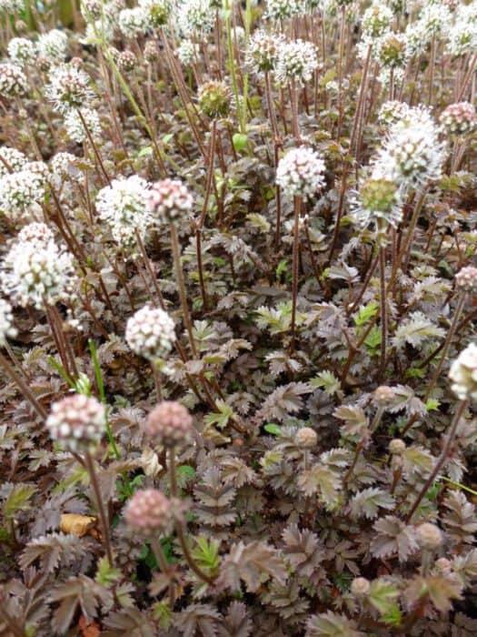 Acaena Microphylla Kupferteppich Stekelnootje