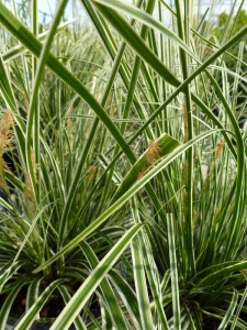 Carex oshimensis Everest